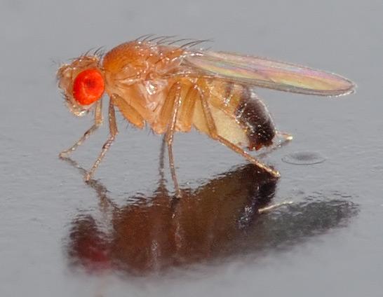Drosophila_melanogaster_-_side_replacementimage